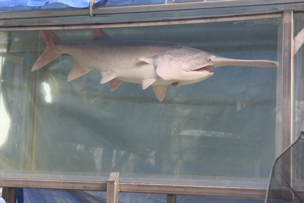 Adult paddlefish swimming in a large tank of fast-flowing water.