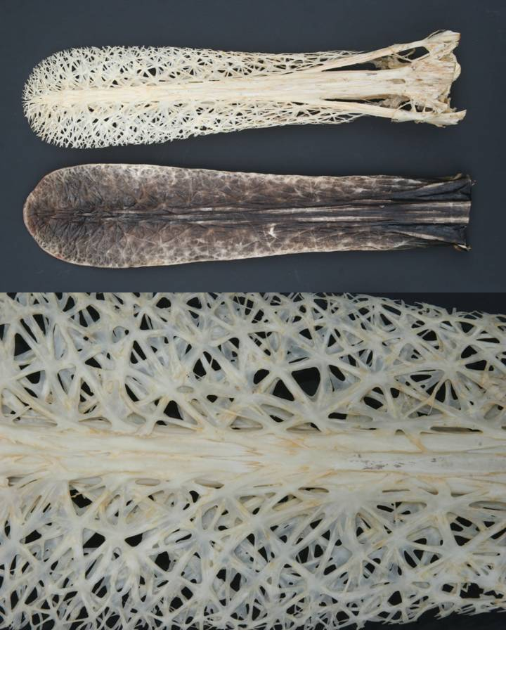 Top, skeletonized and dried rostra of paddlefish; bottom, stellate bones forming skeletal mesh.