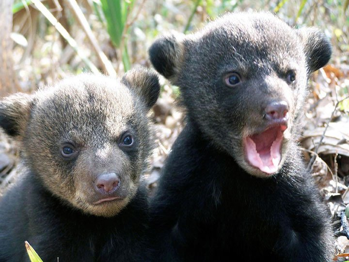 Two black bear cubs, one with mouth open