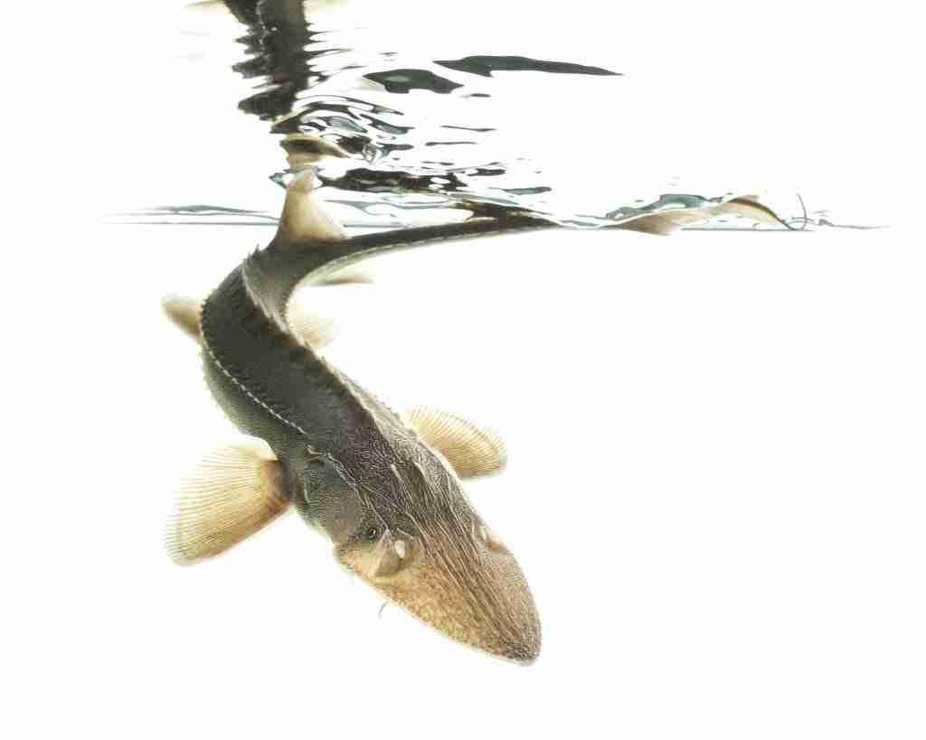 Pallid sturgeon swimming in the water