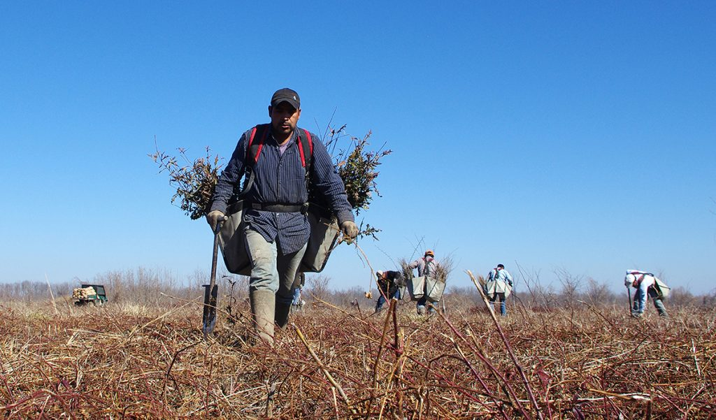 Man with two bags of tree seedlings on his back walking through a field.